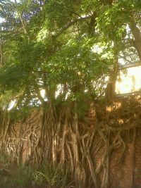 An old wall at the International Convention Centre in Durban, covered with wild fig trees